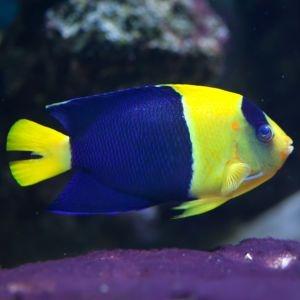 Bicolour Angelfish