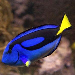 Regal Blue Tang (Medium)