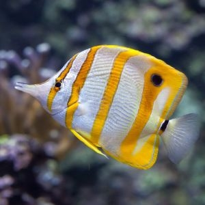 Copperband Butterflyfish Large