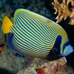 Emperor Angelfish Juvenile- Tiny