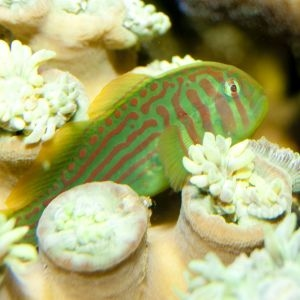 Green Goby