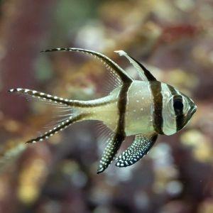 Banggai / Kauderns Cardinalfish