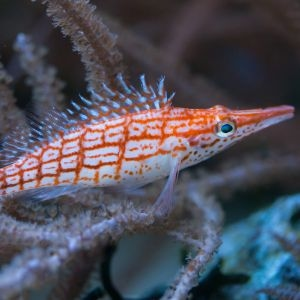 Longnose Hawkfish-Red
