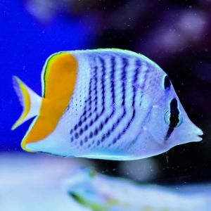 Pearlscale Butterfly Fish