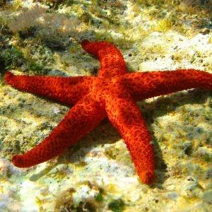 Red Sea Starfish