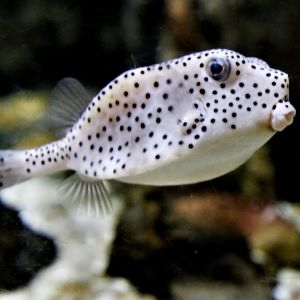 Shortnose Boxfish
