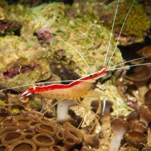 Scarlet Skunk Cleaner Shrimp Small/Med