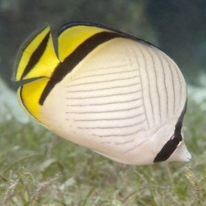 Vagabond Butterfly Fish