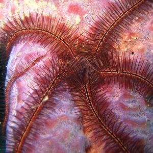 Zebra Brittle Star - Red