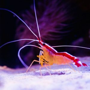 Kuekenthals Cleaner Shrimp