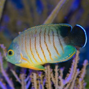 Eibles Angelfish