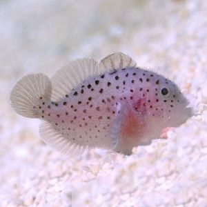 Red Speckled Coral Goby