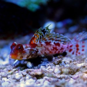 Flame / Ruby Scooter Blenny