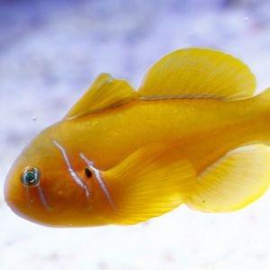 Saffron Goby