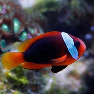 Cinnamon Clownfish Pair, Amphiprion melanopus | Kraken Corals