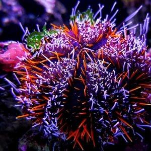 Orange Spine Urchin