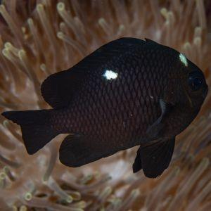 Three Spot Domino Damselfish