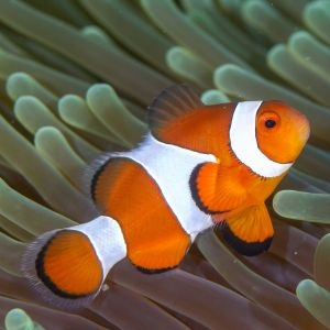 True Percular Clownfish Medium
