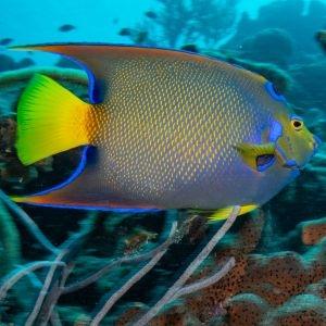 True Queen Angelfish