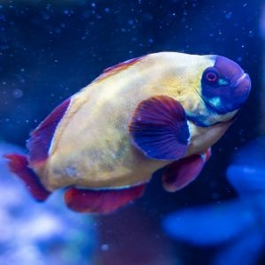 Gold Nugget Maroon Clownfish Pair