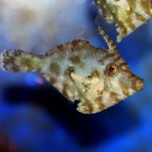 Aiptasia Filefish