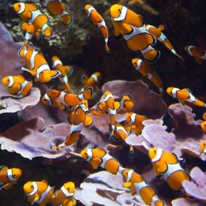 Tank Bred Clownfish Small