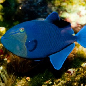 Blue Niger Trigger