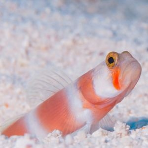 Suntail Goby