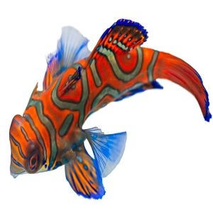 Mandarin Dragonet - Red