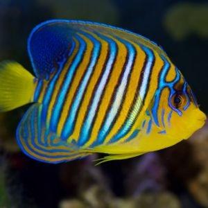 Regal Angelfish - Large