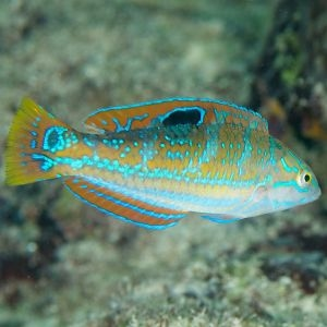 Pudding Wife Wrasse