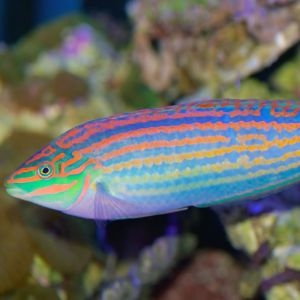 Green Face Wrasse