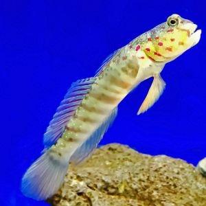 Watchman Goby & Tiger Shrimp Duo