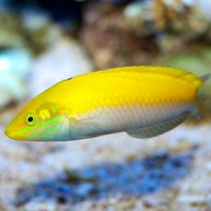 Silver Belly Wrasse Small