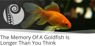 The Memory Of A Goldfish Is Longer Than You Think