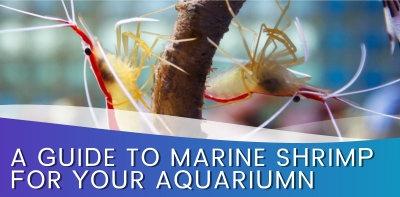 A Guide To Marine Shrimp For Your Aquarium